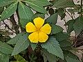 Turnera ulmifolia 36.jpg