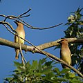 Two Cedar Waxwings (4713628081).jpg