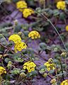USFWS abronia latifolia1 (23830663475).jpg