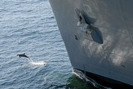 US Navy 080213-N-7179R-001 A porpoise plays off the bow of the dry cargo-ammunition ship USNS Sacagawea (T-AKE 2).jpg