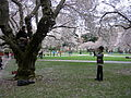 U Wash Quad cherry blossoms 10.jpg