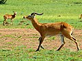 Uganda Kobs (Kobus thomasi) (18233518165).jpg