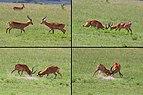 Ugandan kobs (Kobus kob thomasi) males fighting composite.jpg