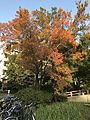 Ulmus parvifolia in autumn 20161111.jpg