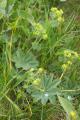 Ulrichstein Feldkruecken Am Melgershain NR 162171 Alchemilla vulgaris Pasture.png