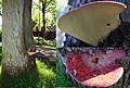Unbelieveble, a big Beefsteak mushroom in front of the pancake restaurant. - panoramio.jpg