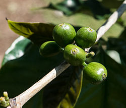 Unripe coffee berries