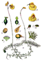 Utricularia intermedia (as U. media) Sturm64.png