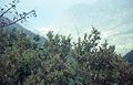 Vaccinium padifolium bushes on a slope in front of a view towards São Vicente in October 1999..jpg