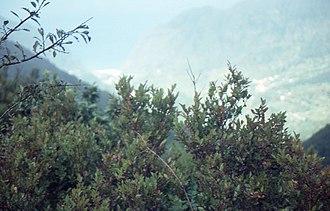 Vaccinium padifolium - Image: Vaccinium padifolium bushes on a slope in front of a view towards São Vicente in October 1999