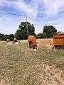 Vaches limousines dans une prairie permanente.jpg