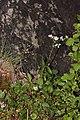 Valeriana sitchensis 4875.JPG