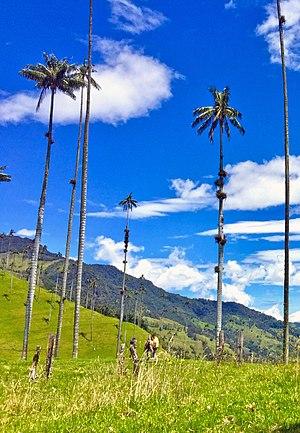 Cocora Valley - Image: Valle del cocora wax palm 01