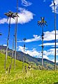 Valle del cocora - wax palm 01.jpg
