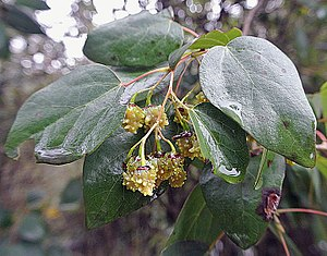 Vallea stipularis - Leaves and fruits.