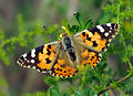 Vanessa cardui - Painted lady.jpg