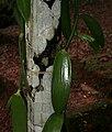 Vanilla planifolia W IMG 2450.jpg