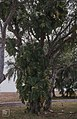 Variegated Philodendron . Nassau. 1979 (38839826282).jpg