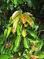 Vateria indica leaves at Kottiyoor Wildlife Sanctuary (1).jpg