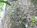 Vegetación de la Reserva de la Biosfera La Amistad Panama (RBLAP) 13.JPG