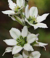 Veratrum album subsp. oxysepalum flower s3.JPG