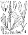 Verbena simplex BB-1913.png
