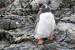 Vernadsky Station Winter Island Antarctica Gentoo Penguin 2 (32395180317).jpg
