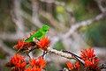 Vernal Hanging Parrot in brunches.jpg