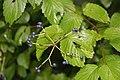 Viburnum dentatum 16zz.jpg