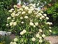 Viburnum rhytidophyllum1.jpg