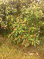 Viburnum rhytidophyllum 092552 - 03.jpg