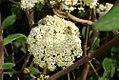 Viburnum x rhytido Alleghany 0zz.jpg