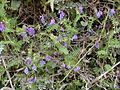 Vicia cracca.jpg
