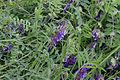 Vicia cracca flowering plant, vogelwikke bloeiende plant(1)bewerkt.jpg