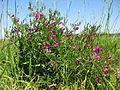 Vicia sativa plant2 (10735872436).jpg