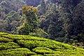 View over part of Nirmala Tea Plantation at the edge of the rain forest Halimun Salak National Park.jpg