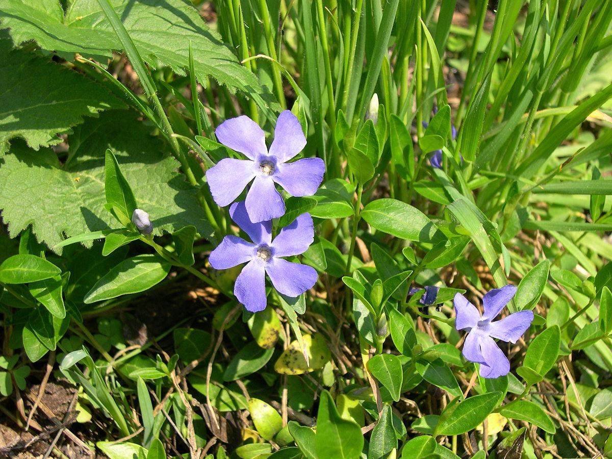Vinca minor wikipedia for Pervinca pianta
