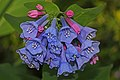 Virginia Bluebell - Mertensia virginica, Merrimac Farm Wildlife Management Area, Nokesville, Virginia - 7022581303.jpg