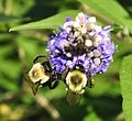 Vitex agnus-castus by jeffreyw - 001.jpg