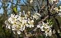 Vitoria - Huertas de Olárizu - Prunus domestica -BT- 01.jpg