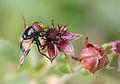 Volucella pellucens & Potentilla palustris.JPG