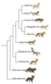 Vulpes phylogeny (eng).png