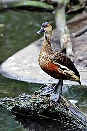Wandering Whistling Duck - melbourne zoo.jpg