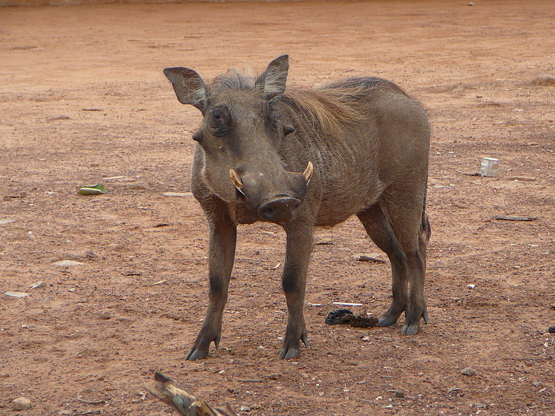 File:Warthog in Mole National Park, Northern Region, Ghana, 2011.JPG
