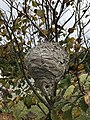 Wasp nest at the National Arboretum.jpg