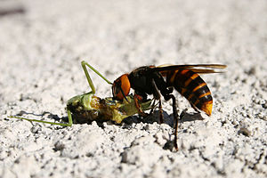Asian giant hornet - An Asian giant hornet feeding on a mantis