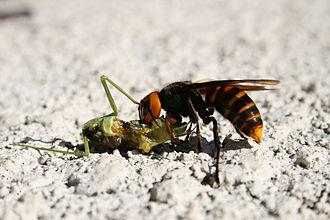Bộ sưu tập côn trùng 2 - Page 16 330px-Waspfeedingonmantis