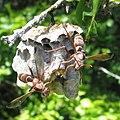 Wasps (8625346988).jpg