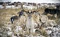 Watchful deer.jpg