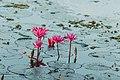 Waterlily, Sri Lanka.jpg